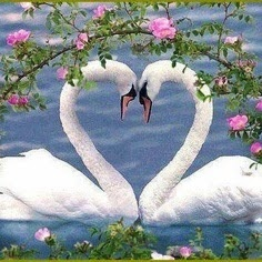 99% of swans only have one partner their their whole lifetime, if the mate dies the swan can pass away from a broken heart. Although, 1% has been observed to move on and find a new partner.