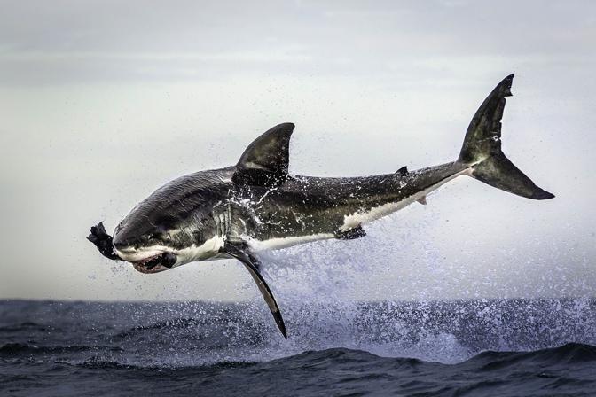 white shark's flying attack (Dana Allen/Caters News/Milestone Media)