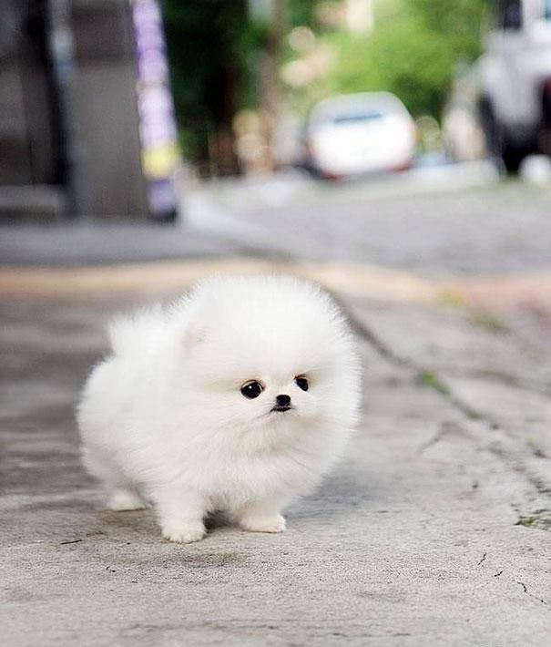 "Teacup Pomeranian | ""Animaux mignons"" (Cute Animals)"