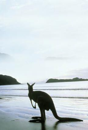 Beach kangaroo in Australia.  Go to www.YourTravelVideos.com or just click on photo for home videos and much more on sites like this.
