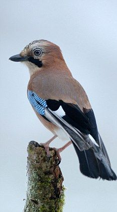 In a logic test, Eurasian jays quickly learned that adding stones to a cylinder half-filled with water would bring a tasty treat floating on the surface within reach of their beaks.   In a second task the jays realised it was better to use pebbles, which sink, than corks, which float.