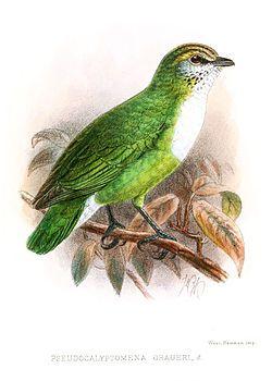 PseudocalyptomenaGraueriKeulemans.jpg  El eurilaimo de Grauer (Pseudocalyptomena graueri),3 también conocido como pico ancho verde africano,4 es una especie de ave paseriforme de la familia Eurylaimidae, y monotípico en el género Pseudocalyptomena.5 Su nombre común conmemora al zoólogo alemán Rudolf Grauer, quien recolectó especímenes de historia natural en el Congo Belga.