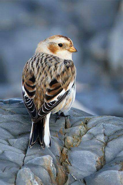 Snow Bunting in winter plumage. Fairly common in the winter in my area.