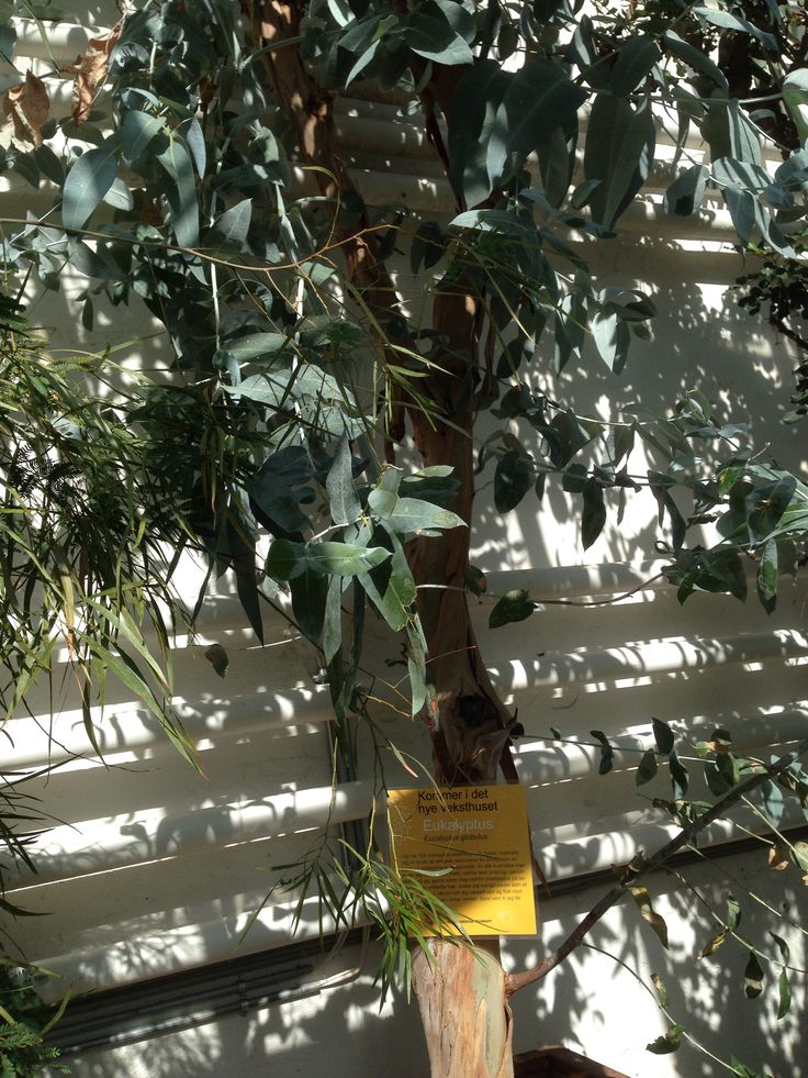 Eucalyptus globutus, febertre