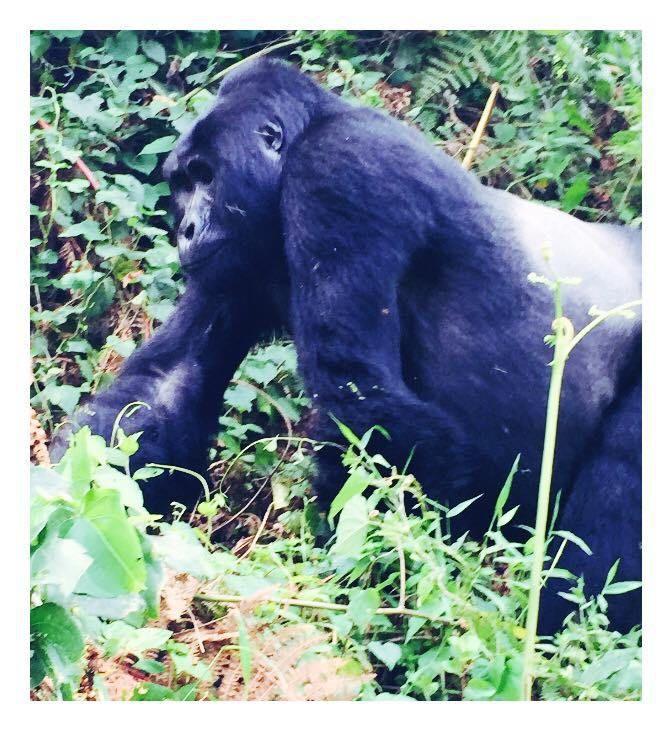 Africa – Trekking for Mountain gorillas