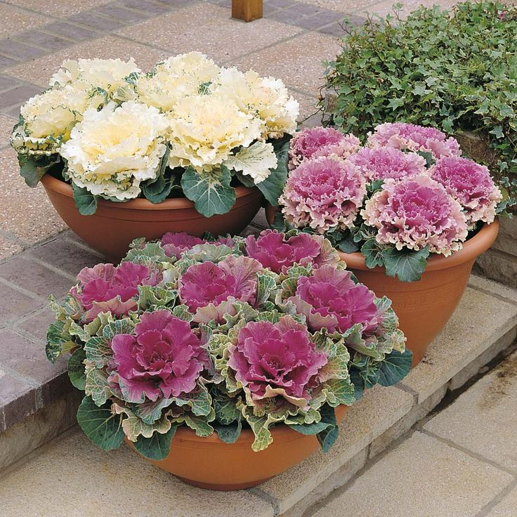 Flowering 'Northern Lights Mixed' Ornamental Cabbage
