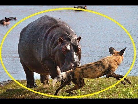 Amazing! Wild Dogs vs Hippos - Animal Fights Attacks