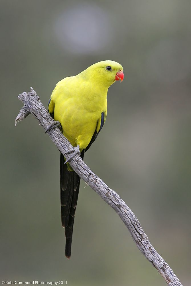 Regent Parrot (Polytelis anthopeplus). The bird is found primarily in eucalyptus groves and other wooded areas of subtropical southwestern Australia, as well as in a smaller area of subtropical and temperate southeastern Australia. Seeds make up the bulk of its diet.