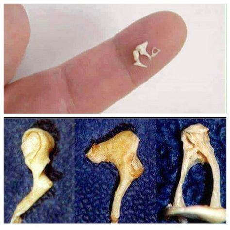 There are over 200 bones in the human body, and these are the smallest! These are the bones of the ear. These bones play an important role in the sense of hearing by transmitting sounds to the inner ear. Their Latin names mean: 1. Malleus: means hammer or mallet 2. Incus: means anvil 3. Stapes: means stirrup These bones may look like nothing, but they are very very hard to dissect out of the head. When I see these 3 little bones dissected out so perfectly like this, I give mad props to the…