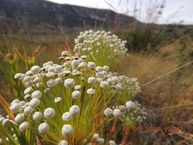 Flores do serrado