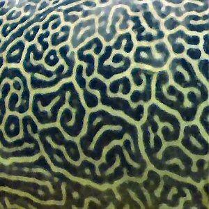 Giant Pufferfish skin pattern detail - Patterns in nature - Wikipedia, the free encyclopedia