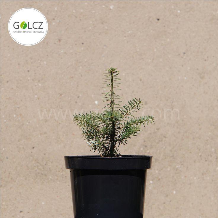 GOLCZ.com | Baumschule in Polen für Sträucher, Bäume und Ziergehölze ✓  Produktion von Alleebäumen, Gartengewächsen, Koniferen, Laubsträuchern ✓  100% gesunde Pflanzen