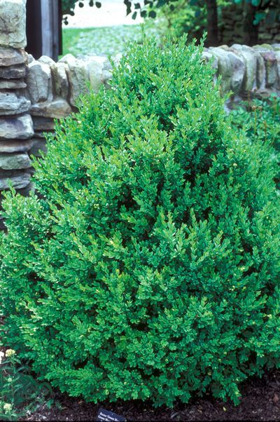 Green Mountain Boxwood~Upright, pyramidal, oval-shaped evergreen plant. Survives Midwest winters
