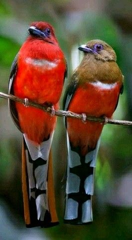 Exotic birds - Beautiful pair of Red-headed Trogons. - from World Wide Wing