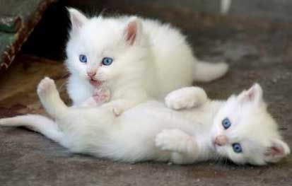 Turkish-Angora-Kittens-Ankara-Zoo-Turkey