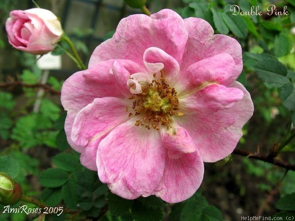 'Double Pink' Rose Photo