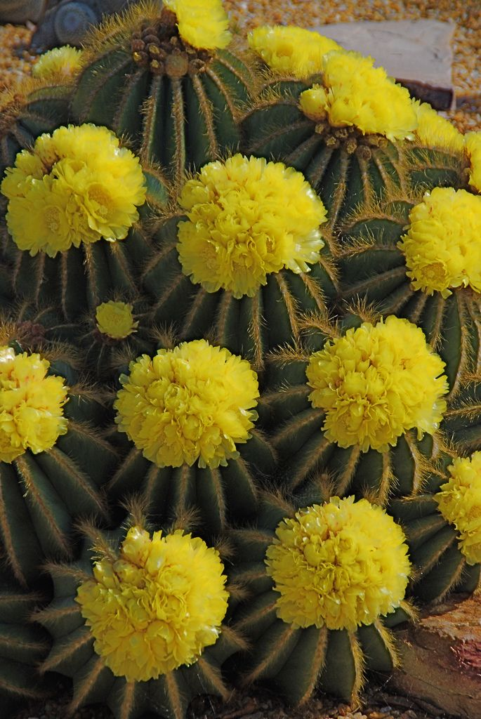 Beautiful yellow blooming cactus. Does anyone know what is the name of this cactus?