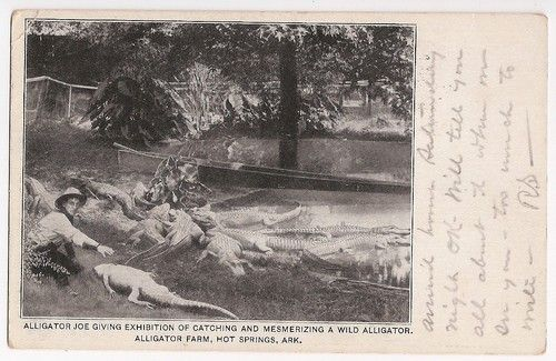 Alligator Joe mesmerizing a wild alligator!  Alligator Farm, Hot Springs Arkansas - 1908 postmark