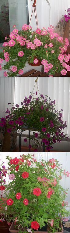 Выращивание петуний в доме.