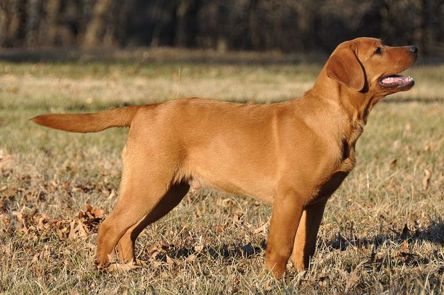 Fox Red Labrador - Beautiful Dog!