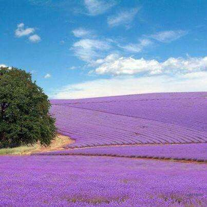 Lavender fields in Fredericksburg Texas