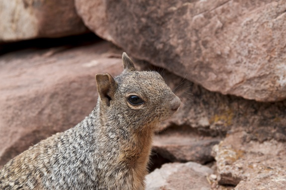 Grand Canyon Ground Squirrel Pictures 21