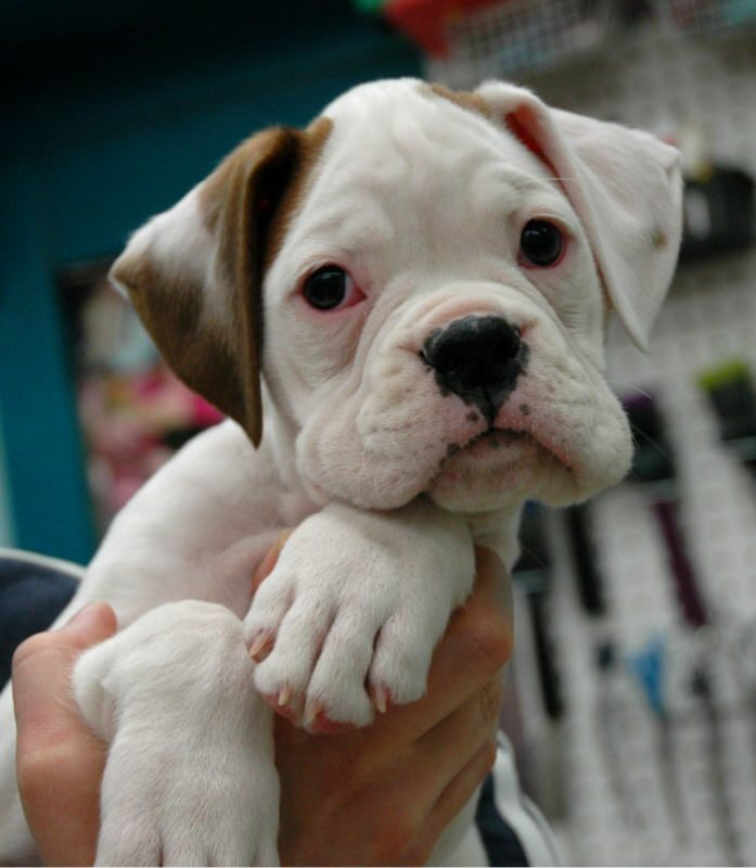 !  Beautiful white boxer puppy with brown ear.  :)