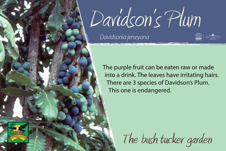Bush tucker sign, davidsons-plum