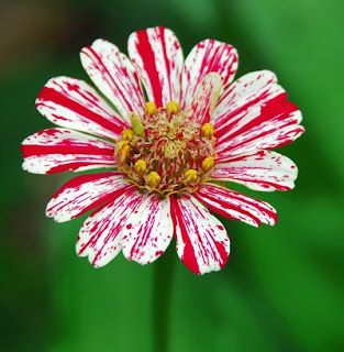 Peppermint Stick Zinnia