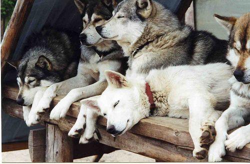 lazy malamutes/huskies