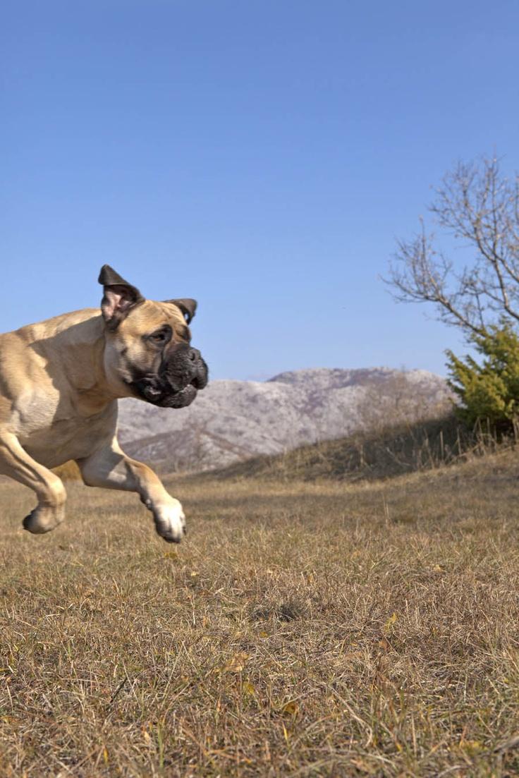 Juno, The English Bull Mastiff #mastiff
