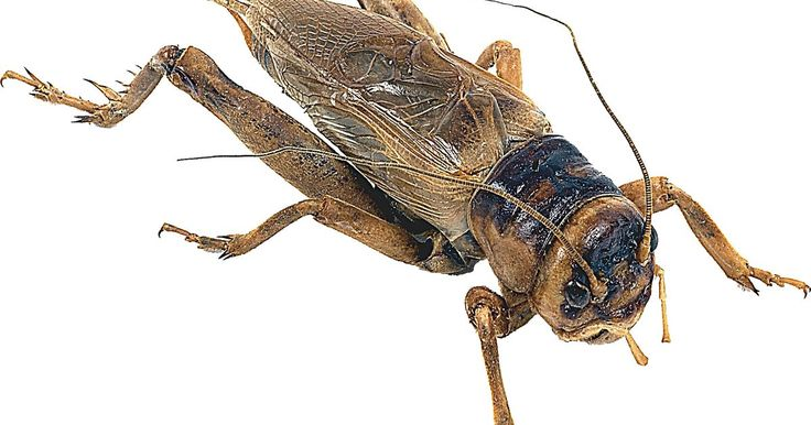 O que os grilos comem?. Os grilos são pequenos insetos encontrados em toda a América do Norte. Eles medem entre 15 e 25 milímetros, são pretos, vermelhos ou marrons, e preferem locais com muita vegetação. Todos os tipos de grilos são onívoros, dispostos a comer o que conseguirem, o que é um fator importante para a grande população na América.
