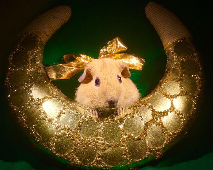 Морская свинка новый год
