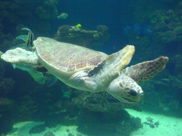 Turtle in one of the impressive aquariums at the Meeresmuseum Stralsund