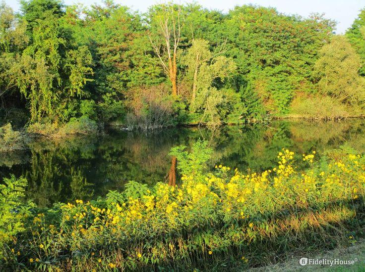 In riva al fiume Brenta, sparsi qua e là, sbocciano spontanei i topinambur.