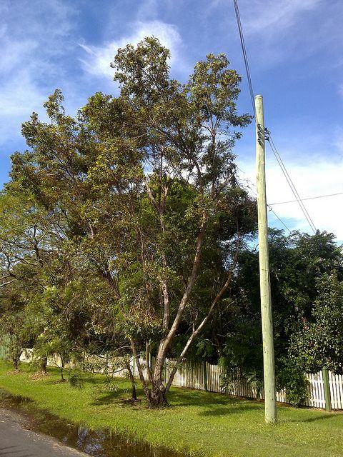 Eucalyptus curtisii (Plunkett Mallee) (Brisbane)