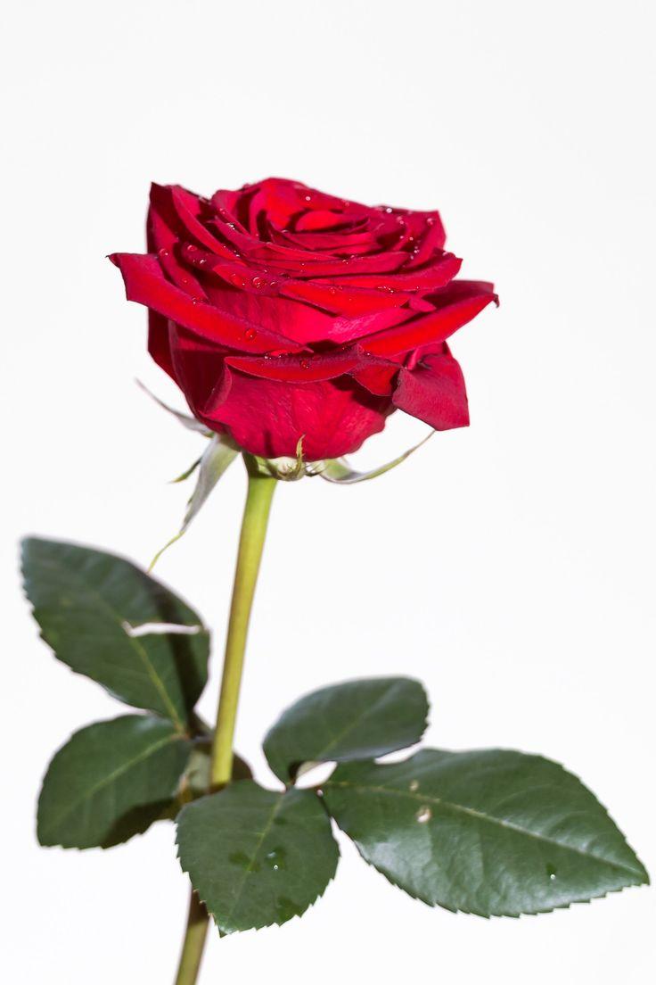 Роза на белом фоне картинки красивые
