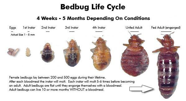 Everybody knows what bed bugs are. Small, household, bloodsucking pests that live in your bed or clothing. However, there is a lot more to bed bugs, a lot more that you don't know. Here are some interesting things that you might not know about these uninvited guests in your house.