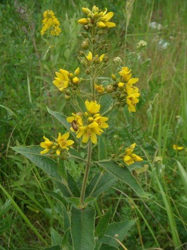 Вербейник обыкновенный (Lysimachis vulgaris)