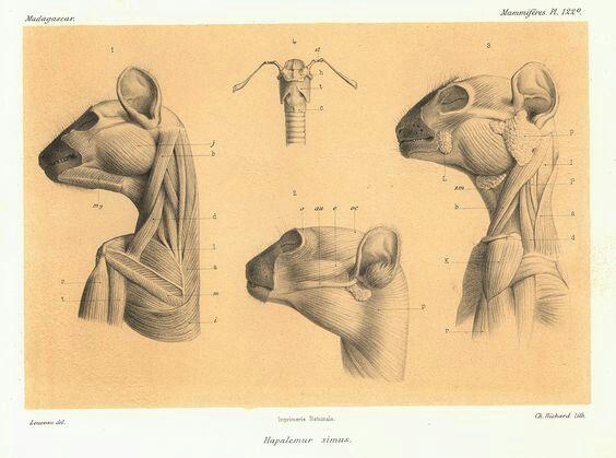 12 besten lemur Bilder auf Pinterest | Tieranatomie, Affen und Anatomie