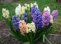 Прекрасный сад Людмилы Котовой: Сажаем луковичные цветы осенью  - любуемся всю вес...