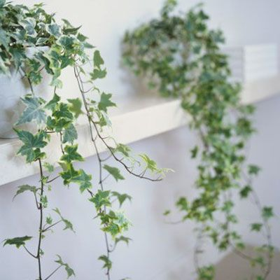 English ivy - Healthiest Plants for Your Home.   Available in all kinds of colors and shapes, this climbing vine helps clear out formaldehyde. It's superversatile, too: You can grow it in hanging baskets, low planters, or even as a topiary. It needs regular misting, though, especially during winter.