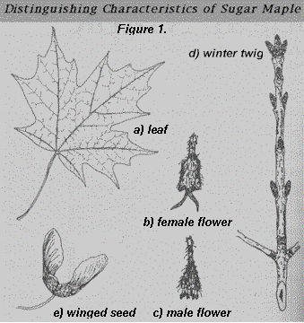 The MisAdventures Of A Born Again Farm Girl How To Tap A - Norway maple vs sugar maple