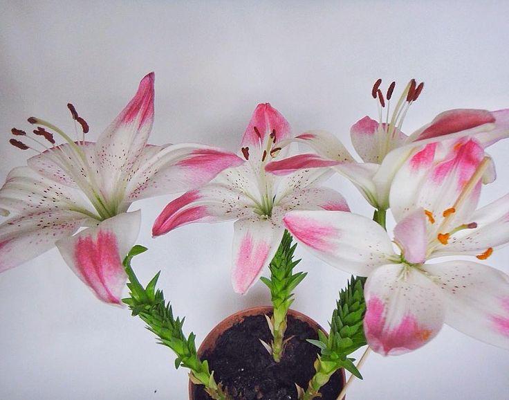 С Днём Святого Валентина! Азиатские лилии #Лоллипоп в горшке. #лилии #лилиицветут #цветы #купитьцветы #растениякупить #садовыецветы #садовыецветынапродажу