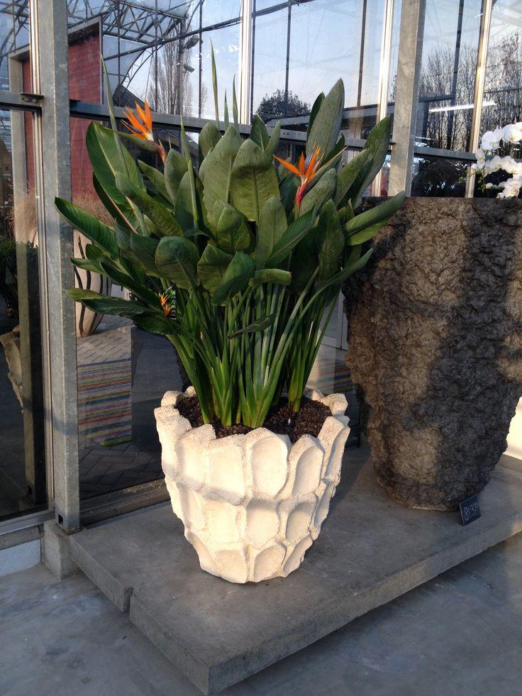Creative Strelitzia Pot Plant Combination At Our Showroom