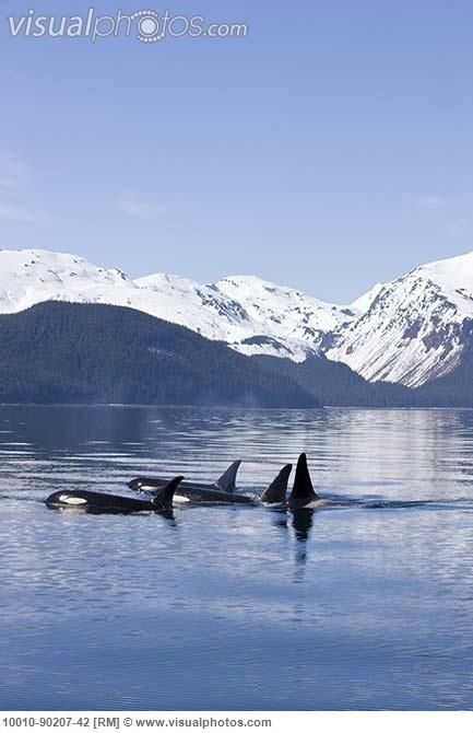 "See Orcas in the wild or just or you could ""JUST LET IT BE"""
