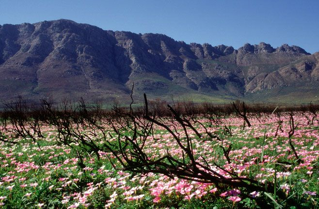 Robertson south africa - Google Search (Oxalis glabra)