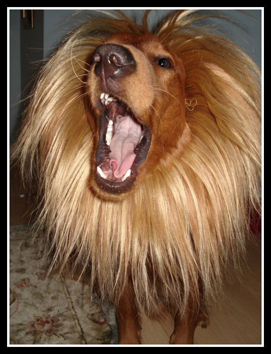 Google Image Result for http://1.bp.blogspot.com/_GnBGefU3fjw/TLvYedjvKdI/AAAAAAAAAnw/aEW-B19g_j0/s1600/lion-costume-for-dogs.jpg