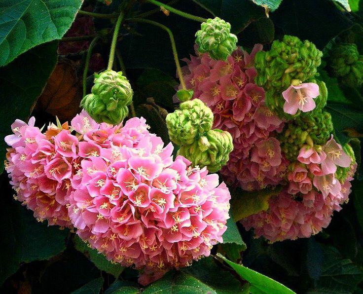 Dombeya burgessiae, Hydrangea Tree, 10 seeds, fluffy pink blooms, compact tree, sun or shade, zones 8 to 10, drought tolerant, butterflies by SmartSeeds on Etsy https://www.etsy.com/listing/127267689/dombeya-burgessiae-hydrangea-tree-10