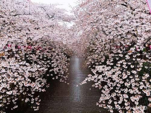 Lo splendido sakura, il fiore del ciliegio, è uno dei simboli più importanti della cultura giapponese. La sua fioritura viene celebrata da oltre un millennio: ogni anno, in questo periodo, milioni di giapponesi si riuniscono per per ammirare i meravigliosi fiori rosa. È il momento dell'Hanami, la festa che occupa buona parte della primavera, che va da inizio aprile fino a metà maggio.
